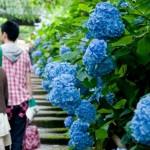 鎌倉のあじさいの見頃は6月下旬!おすすめスポット&混雑情報