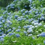 鎌倉のあじさい寺の見頃は?混雑状況や開花情報もご紹介