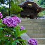 鎌倉の成就院あじさいの見頃は?混雑状況を解説。開花情報も。