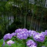 鎌倉の長谷寺あじさいの見ごろは?混雑状況を解説。開花情報も。