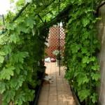 ゴーヤのグリーンカーテン 育て方のコツ、プランターの選び方、摘心など
