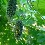 ゴーヤ栽培のコツは?種が発芽しない!水やり量は?葉に黒い斑点?